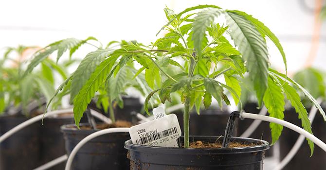 02 Marijuana Plants Texas MKC TT