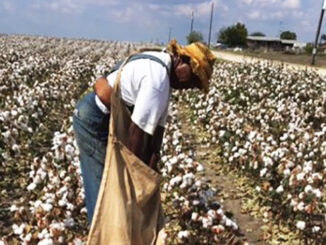 Cotton Picking Day
