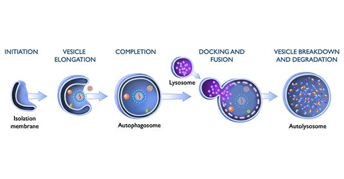 UTSW viral autophagy 1